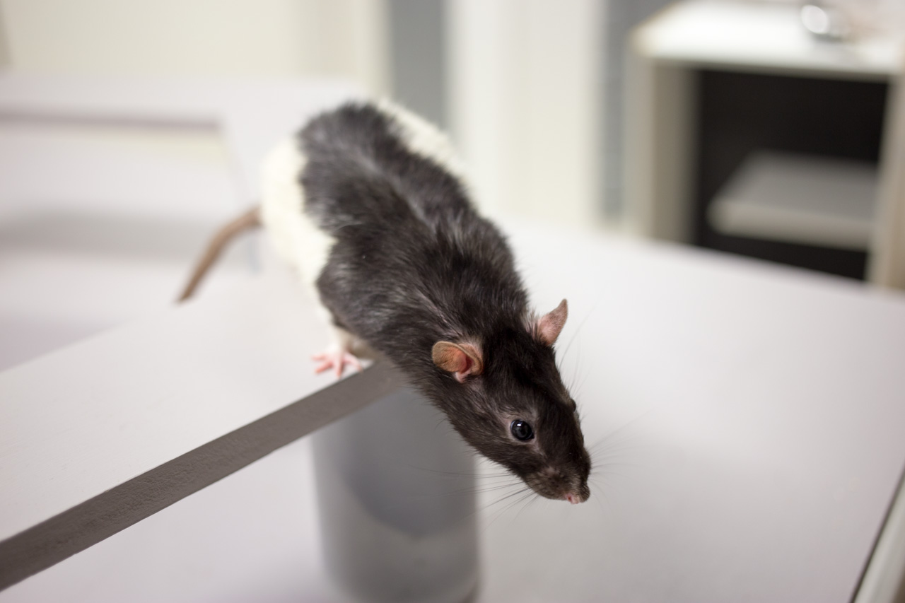 A rat performing a head scan from the hexagonal track